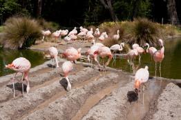 Thirty-one flamingos