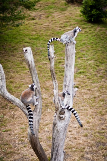A trio of ring-tailed lemurs